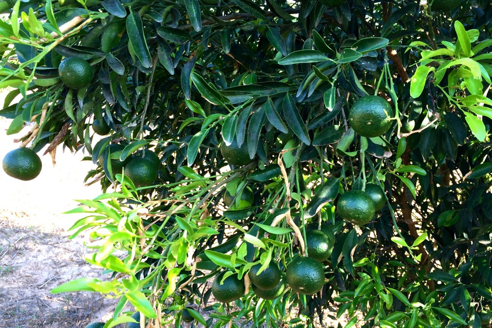 Young Mandarin fruits