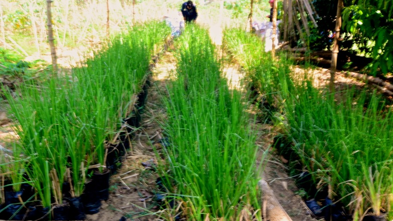 Vetiver grown in plastic bags