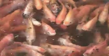 Red Tilapia Culture in Taal Lake