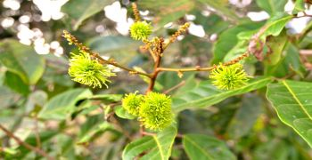 Young Rambutan Fruits in May