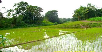 Ricefields of Santo Tomas in January