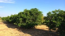 Mandarin Orange Groves Cadu Farm 03