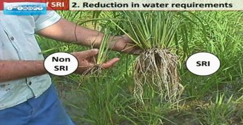 Rice farming: Saving water through Alternate Wetting Drying (AWD) method