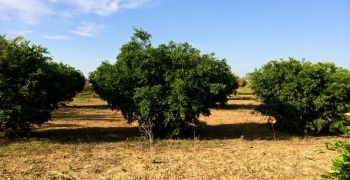 Shade tolerant plants under Mandarin Citrus Trees