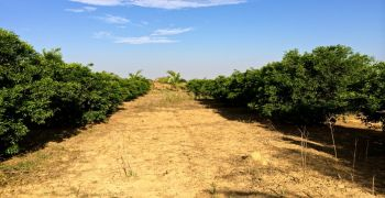 Potential of Mandarin Citrus Trees as Windbreaks