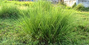 Tanglar (Themeda arundinacea) -- A Vetiver Supplement?